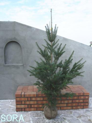 モミの木 H1800