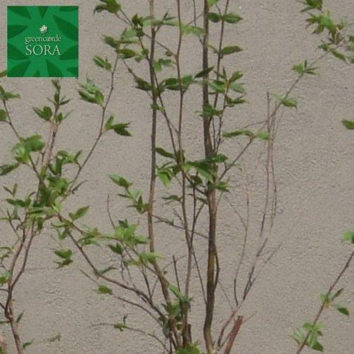 ヒメシャラ 単木 樹高 H:2500mm