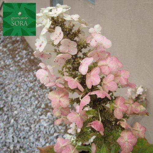 紫陽花 カシワバアジサイ 15cmポット