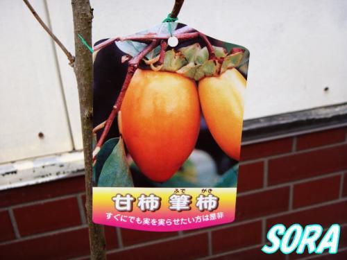 甘柿 筆柿 2年生