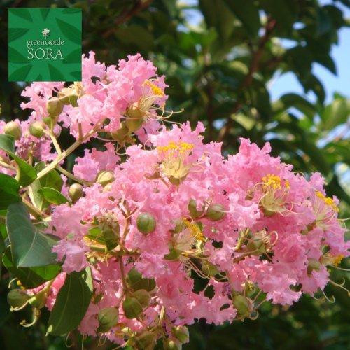 サルスベリ 桃花 単木 樹高H:2500mm