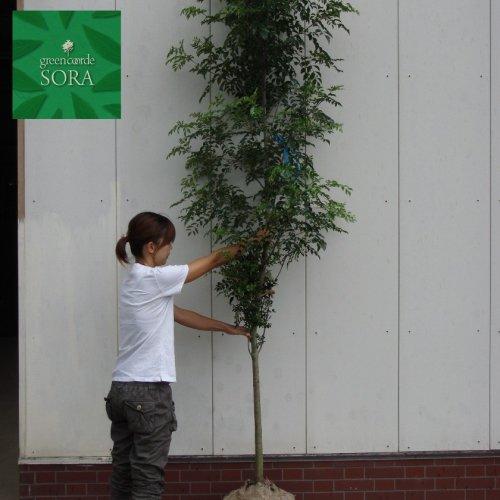 シマトネリコ 単木 樹高H:2000mm