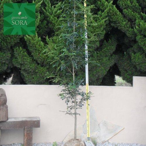 シマトネリコ 単木 樹高H:3000mm