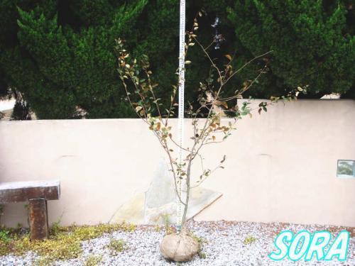 ハナカイドウ 単木 樹高H:1800mm