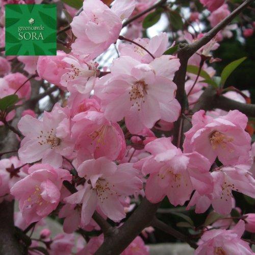 ハナカイドウ 単木 樹高H:2000mm