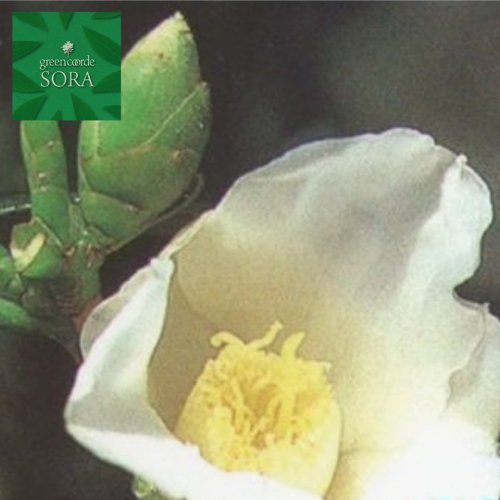 白侘助 単木 樹高H:2000mm