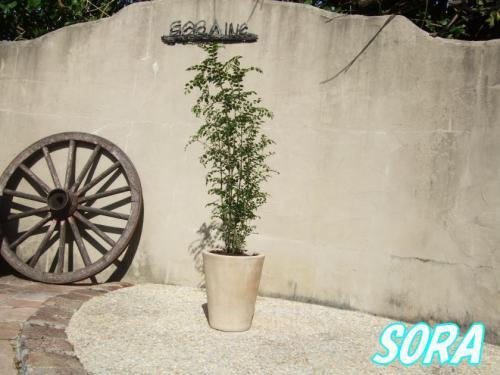 シマトネリコ 鉢植え コニックポット