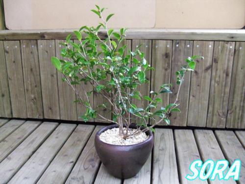 寒椿鉢植え
