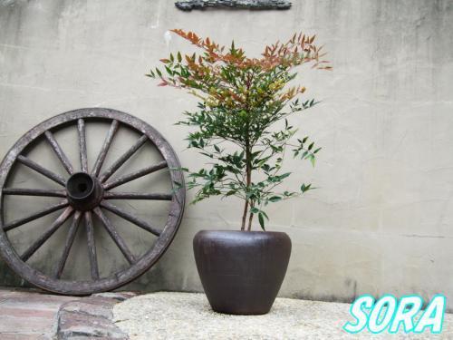 赤南天 鉢植え チャチャD30