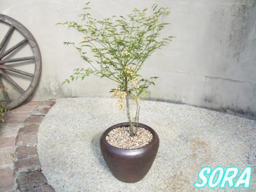 白南天 鉢植え チャチャD30