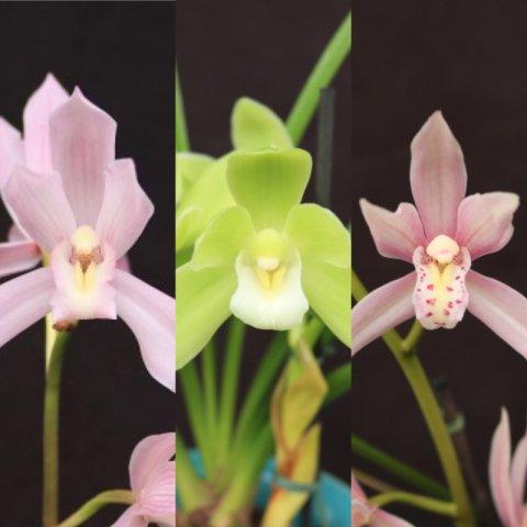 和蘭苗 3種セット(2018年春開花サイズ)