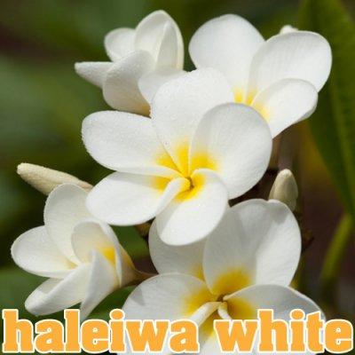 【Molokai Plumeria】Haleiwa White/ハレイワ ホワイト[プルメリア鉢植え]/HGPL-266H★<img class='new_mark_img2' src='https://img.shop-pro.jp/img/new/icons25.gif' style='border:none;display:inline;margin:0px;padding:0px;width:auto;' />