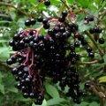 ■エルダーベリー Elderberry 7,5ml