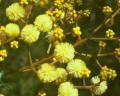サンシャイン・ワトル Sunshine Wattle15ml