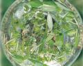 グリーン・エッセンス Green Essence15ml