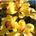 ■コーディネーションオーキッド Coordination Orchid15ml
