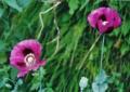 ●オピウムポピーOpium Poppy(アラスカン) 7,5ml