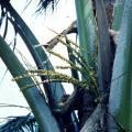 ●ココナッツ(向上)スピリットインネイチャー