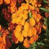 ●ウォールフラワー Wall Flower15ml