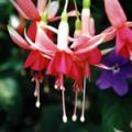 ■フューシャ Fuchsia(kit6) 7,5ml