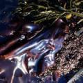 ■レインボーケルプ Rainbow Kelp(kit5) 7,5ml