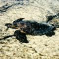 ■シータートル Sea Turtle(kit5) 7,5ml