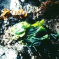 ■シーレタス Sea Lettuce(kit5) 7,5ml