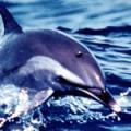 ■ドルフィン Dolphin(kit5) 7,5ml
