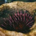 ■アーチン Urchin(kit4) 7,5ml