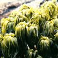 ■シーパーム Sea Palm(kit4) 7,5ml