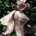 ■パープルマグノリア Purple Magnolia(kit3) 7,5ml