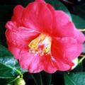 ■カメリア Camellia(kit3) 7,5ml