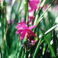 ■グラスウィドウ Grass Widow(kit2) 7,5ml