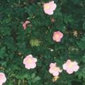 ■ヌーツカローズ Nootka Rose(kit2) 7,5ml