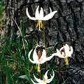 ■イースターリリー Easter Lily(kit1) 7,5ml