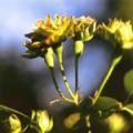 ■8 グリーンローズ Green Rose(PHIエッセンス)15ml