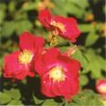 ■7 ティベタンロックローズ Tibetan Rock Rose(PHIエッセンス)15ml