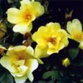 ■3 スプリングゴールド Spring Gold(PHIエッセンス)15ml
