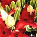 ■20 アーススターカクタス Earth Star Cactus(PHIエッセンス)15ml