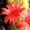 ■18 ラブカクタス Love Cactus(PHIエッセンス)15ml