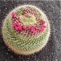 ■11 フォーメーションカクタス Formation Cactus(PHIエッセンス)15ml