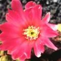 ■7 ビューティーカクタス Beauty Cactus(PHIエッセンス)15ml