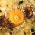■6 ゴールデンバレルカクタス Golden Barrel Cactus(PHIエッセンス)15ml