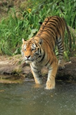 <img class='new_mark_img1' src='https://img.shop-pro.jp/img/new/icons14.gif' style='border:none;display:inline;margin:0px;padding:0px;width:auto;' />■タイガー Tiger