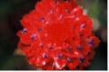 <img class='new_mark_img1' src='//img.shop-pro.jp/img/new/icons14.gif' style='border:none;display:inline;margin:0px;padding:0px;width:auto;' />●ブロメリア1 Bromelia1   受容、寛容 15ml