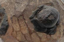 セヌフォ族 黒い目がたくさんある木像