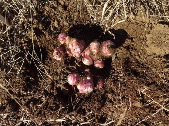【稀少!!】紫菊芋の種イモ【無農薬・有機栽培】