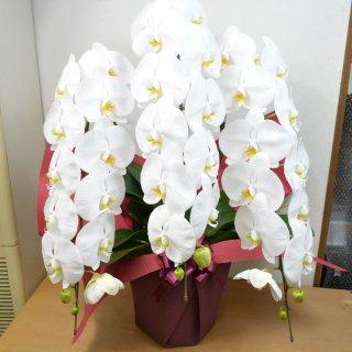 開店・開業祝いの贈り物に!胡蝶蘭(コチョウラン)3本立 ホワイト