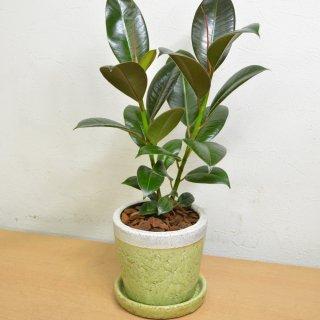 観葉植物 4号鉢 フィカスメラニー 陶器鉢入