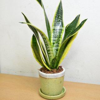 観葉植物 4号鉢 サンスベリア 陶器鉢入